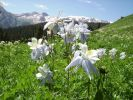 Columbine, the Colorado State Flower. 2009.